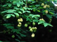 Kłokoczka – roślina o magicznych właściwościach