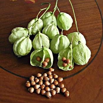 Nasiona kłokoczki (http://www.greenmansworld.de/Samen-Verkauf/Exoten/Pimpernuss--Staphylea-pinnata-.html)